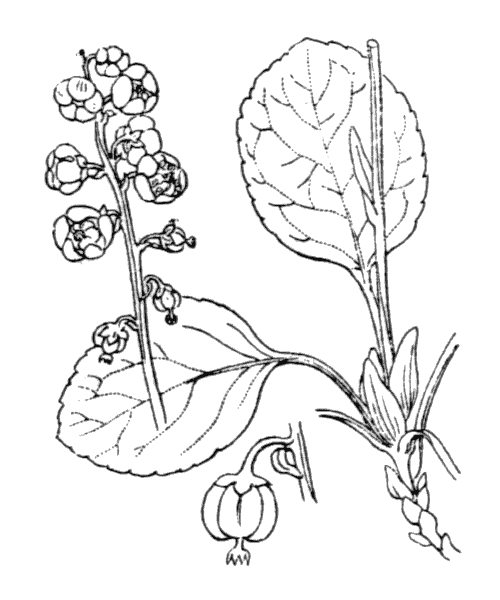 Pyrola minor L. - illustration de coste