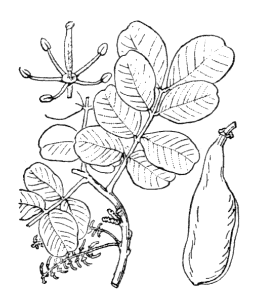 Ceratonia siliqua L. - illustration de coste