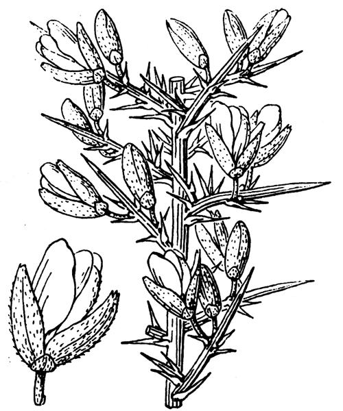 Ulex europaeus L. - illustration de coste