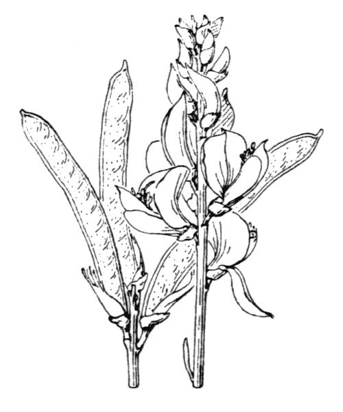 Spartium junceum (illustration de Coste)