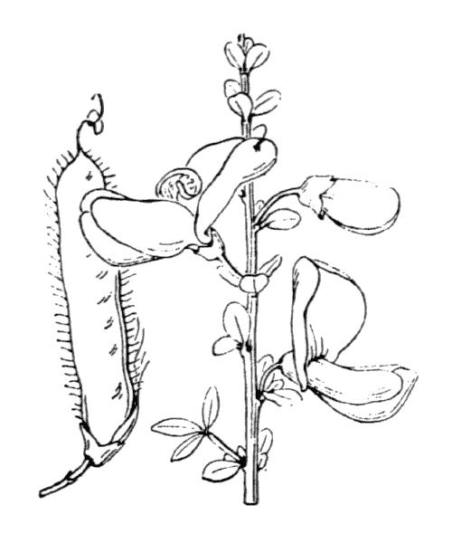 Cytisus scoparius (L.) Link subsp. scoparius - illustration de coste