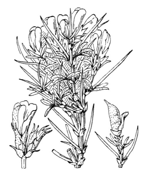 Genista horrida (Vahl) DC. [1805, in Lam. & DC. ; Fl. Franç., éd. 3, 4 : 500] (illustration de Coste)