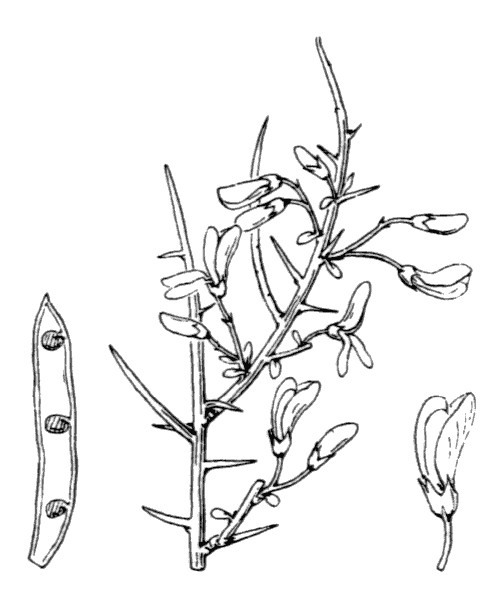 Genista corsica (Loisel.) DC. [1815, in Lam. & DC. ; Fl. Franç., éd. 3, 5 : 548] (illustration de Coste)