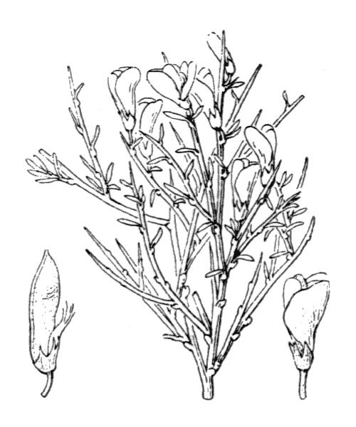 Genista lobelii DC. [1805, in Lam. & DC. ; Fl. Franç., éd. 3, 4 : 499] (illustration de Coste)