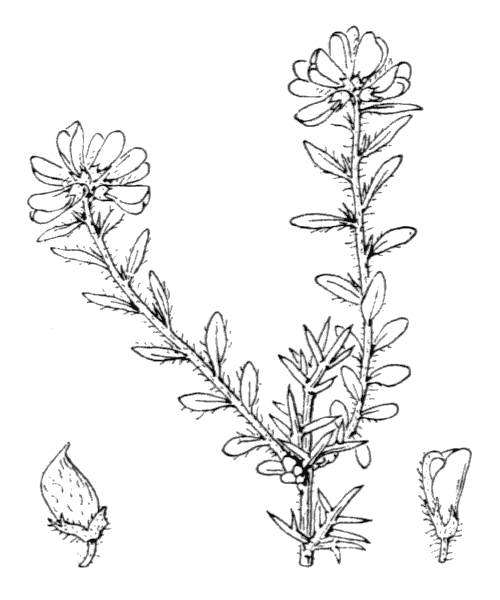 Genista hispanica L. - illustration de coste