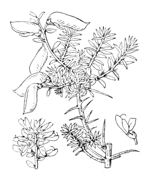 Genista anglica L. - illustration de coste