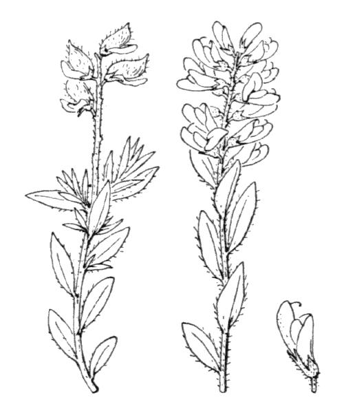 Genista germanica L. [1753, Sp. Pl., 2 : 710] (illustration de Coste)