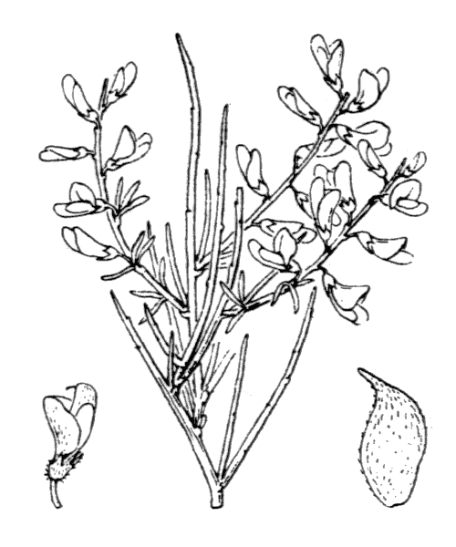 Genista monspessulana (L.) L.A.S.Johnson [1962, Contr. New South Wales Natl. Herb., 3 : 98] (illustration de Coste)