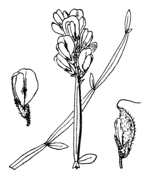 Genista sagittalis L. [1753, Sp. Pl., 2 : 710] (illustration de Coste)