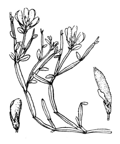 Genista delphinensis Verl. [1872, Bull. Soc. Statist. Dép. Isère, 14 : 77-78] (illustration de Coste)