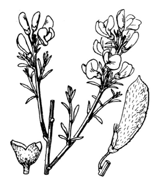 Cytisus oromediterraneus (illustration de Coste)