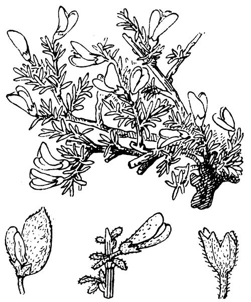 Genista pulchella subsp. villarsiana (Jord.) F.Conti [2007, Bot. J. Linn. Soc., 153 (3) : 250] (illustration de Coste)