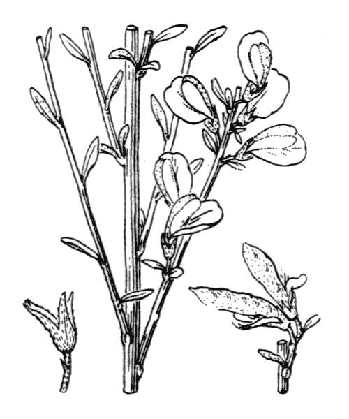 Genista cinerea (Vill.) DC. [1805, in Lam. & DC. ; Fl. Franç., éd. 3, 4 : 494] (illustration de Coste)