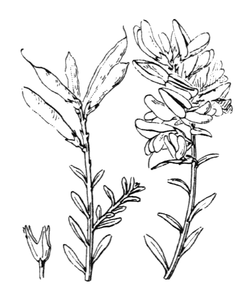 Genista tinctoria L. [1753, Sp. Pl., 2 : 710] (illustration de Coste)