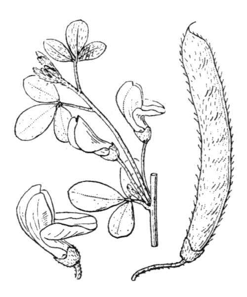 Cytisus villosus (illustration de Coste)