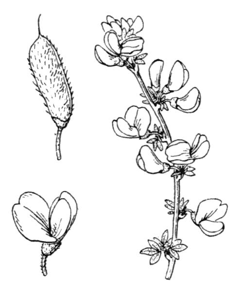 Cytisus ardoinoi E.Fourn. [1866] - illustration de coste