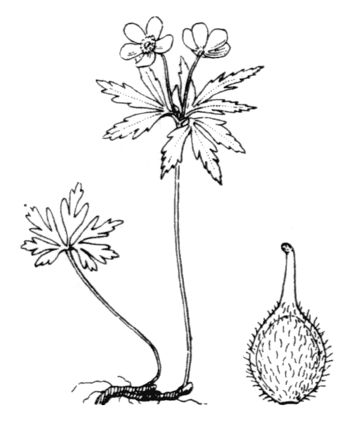 Anemone ranunculoides L. [1753] - illustration de coste