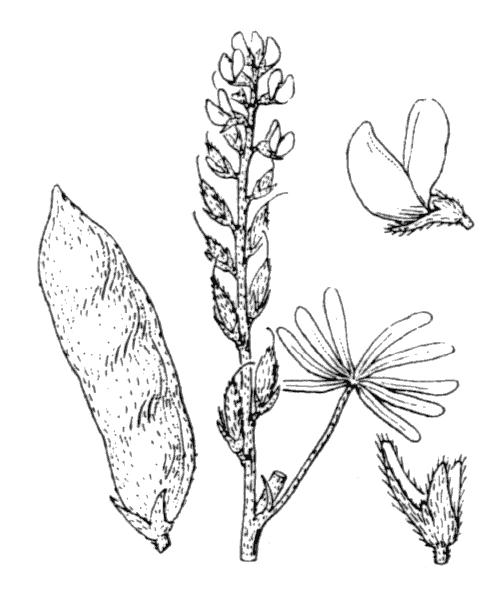 Lupinus angustifolius L. - illustration de coste