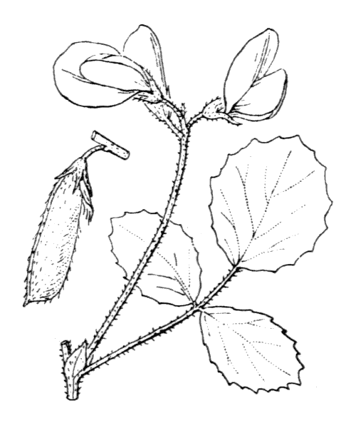 Ononis rotundifolia L. [1753, Sp. Pl., 2 : 719] (illustration de Coste)