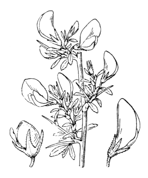 Ononis spinosa subsp. spinosa (illustration de Coste)
