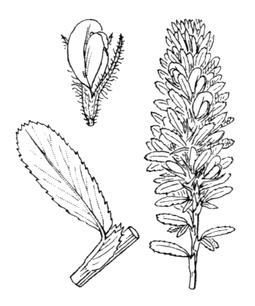 Ononis alopecuroides subsp. exalopecuroides (G.López) Greuter & Burdet [1989, in Greuter & Raus ; Willdenowia, 19 (1) : 33] (illustration de Coste)