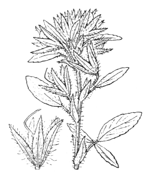 Ononis pubescens L. [1771, Mantissa Alt., 267] (illustration de Coste)