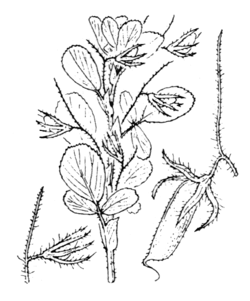 Ononis breviflora DC. [1825, Prodr., 2 : 160] (illustration de Coste)