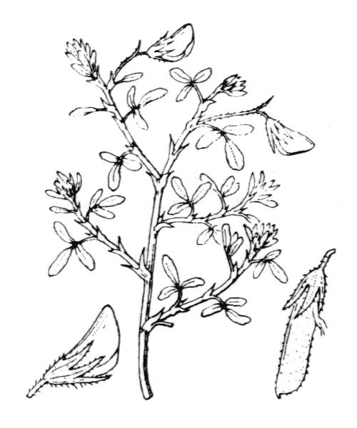 Ononis natrix subsp. ramosissima (Desf.) Batt. [1889, in Batt. & Trab. ; Fl. Algérie, Dicotyl. : 213] (illustration de Coste)