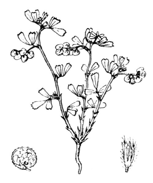 Medicago secundiflora Durieu - illustration de coste