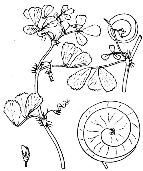 Medicago orbicularis (L.) Bartal. - illustration de coste