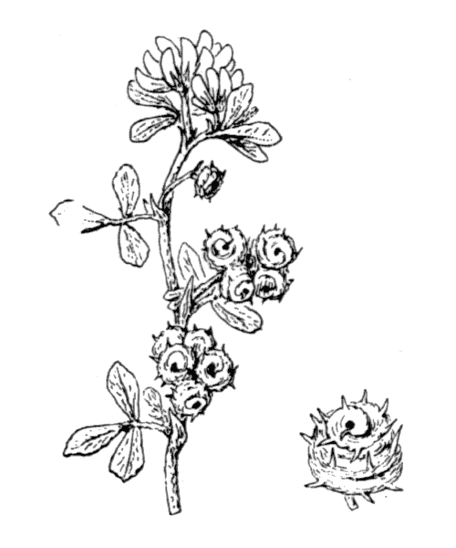 Medicago marina L. - illustration de coste