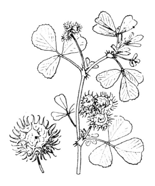 Medicago polymorpha var. denticulata (Willd.) Kerguélen [1993] - illustration de coste