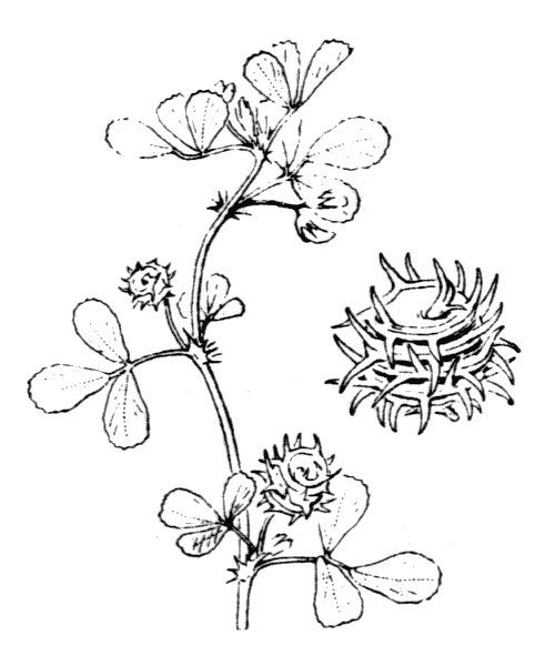 Medicago truncatula Gaertn. [1791] - illustration de coste