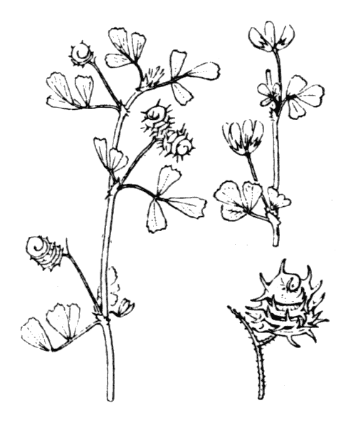 Medicago littoralis Rohde ex Loisel. - illustration de coste