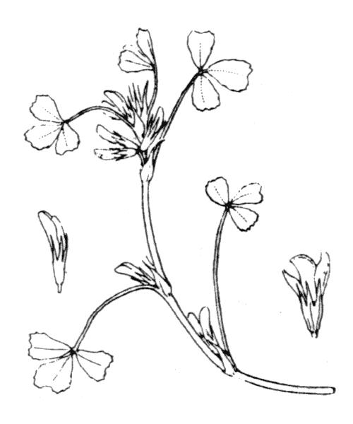 Trifolium ornithopodioides L. - illustration de coste