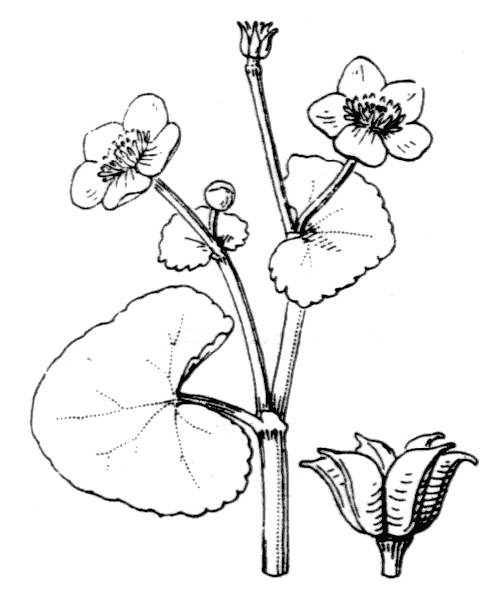 Caltha palustris L. - illustration de coste