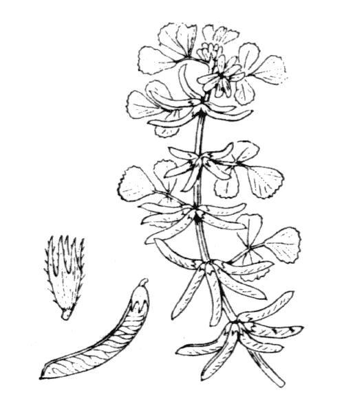 Medicago monspeliaca (L.) Trautv. - illustration de coste