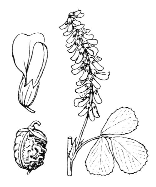 Trigonella italica (L.) Coulot & Rabaute [2013] - illustration de coste