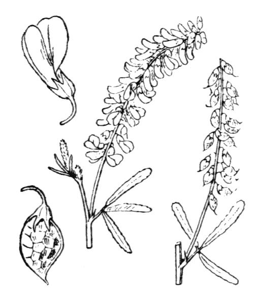 Trigonella altissima (Thuill.) Coulot & Rabaute - illustration de coste