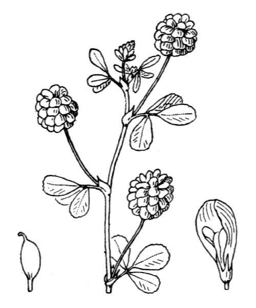 Trifolium campestre Schreb. - illustration de coste