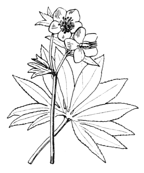 Helleborus viridis L. - illustration de coste