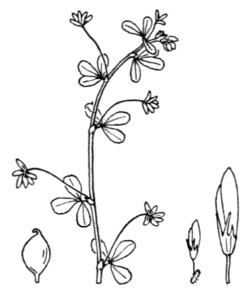 Trifolium micranthum Viv. - illustration de coste