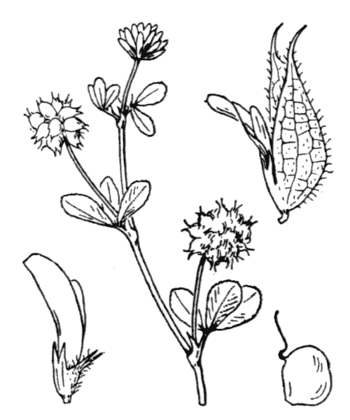 Trifolium resupinatum L. [1753] - illustration de coste