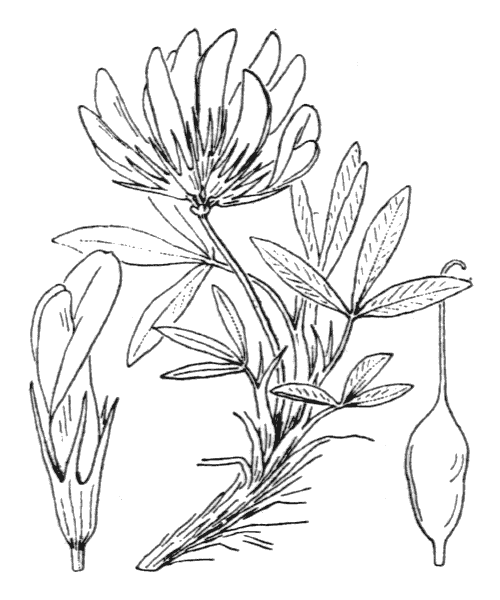Trifolium alpinum L. - illustration de coste