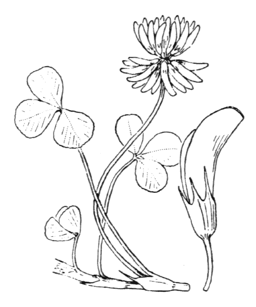 Trifolium repens L. - illustration de coste