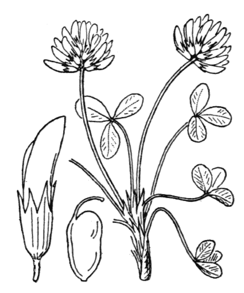 Trifolium thalii Vill. [1779] - illustration de coste