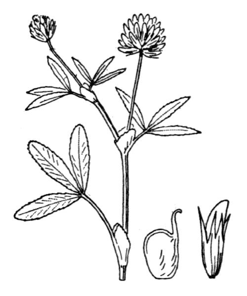 Trifolium strictum L. [1755] - illustration de coste