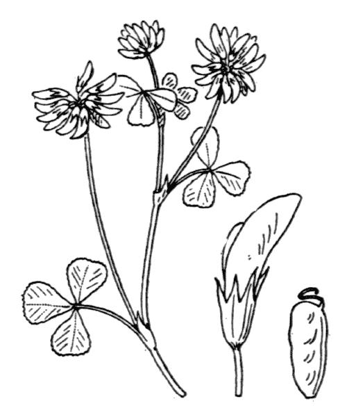 Trifolium nigrescens Viv. - illustration de coste