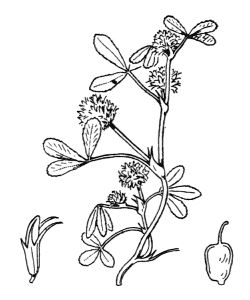 Trifolium retusum L. - illustration de coste
