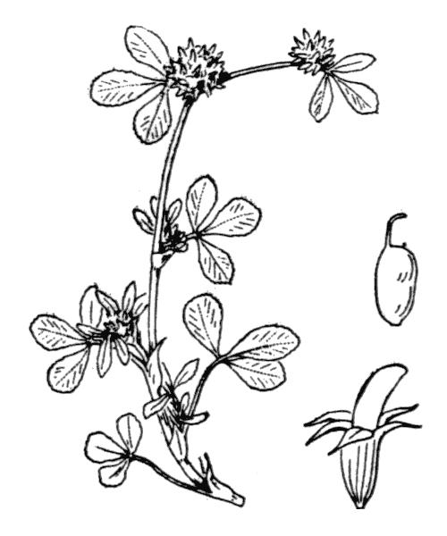 Trifolium glomeratum L. [1753] - illustration de coste